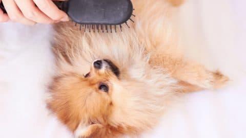 Pomeranian having its coat brushed
