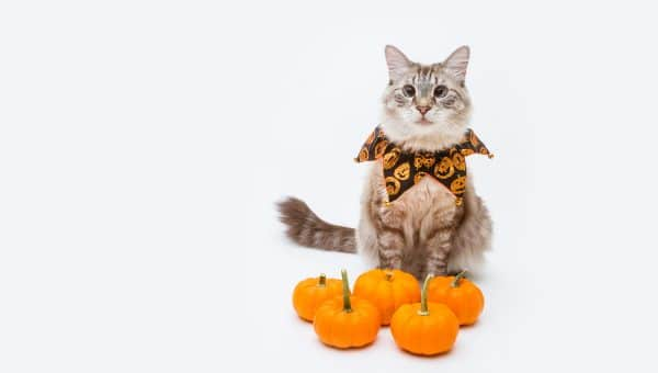 Cat with halloween collar and collection of pumpkins