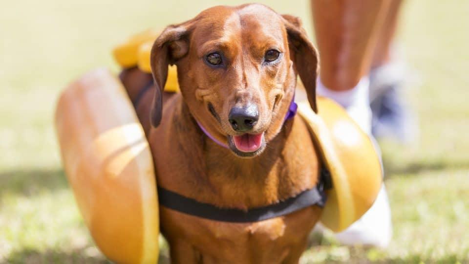 Dachshund in hotdog costume running on grass