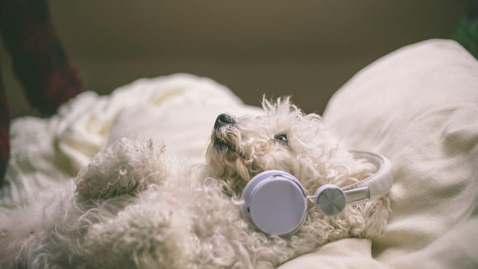 white bichon frise with headphones on