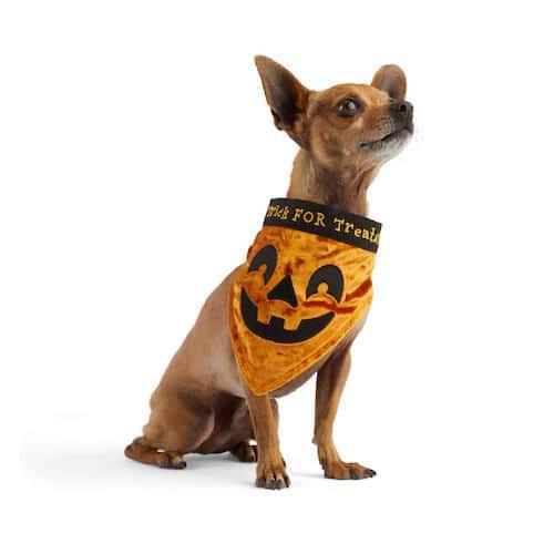 dog in pumpkin bandana
