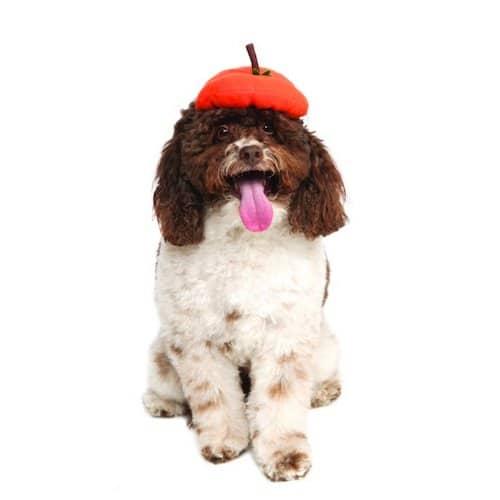 dog wearing a pumpkin beret hat