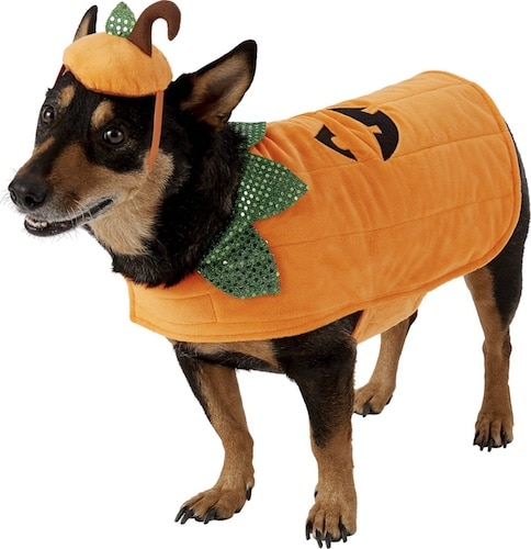 dog in pumpkin costume with hat