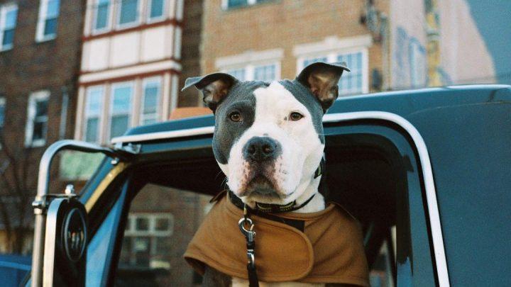 shotgun willie the pit bull