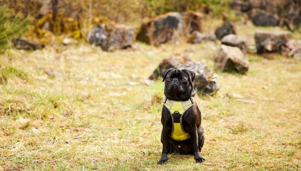 Pug sitting on dry grass wearing harness
