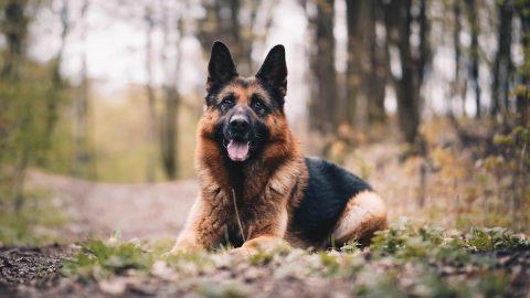 German Shepherd sits in woods