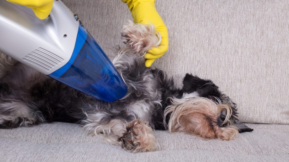 dog on couch with best handheld pet hair vacuum