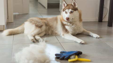 Siberian husky lies on floor in pile of his fur and dog comb