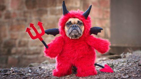 cute french bulldog in devil halloween costume