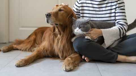 Golden Retriever and British Shorthair cat with their parent