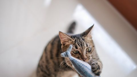 Cat plays with fish toy