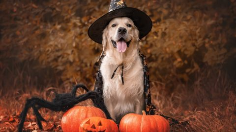 golden retriever dressed up like a witch surrounded by pumpkins