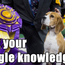 Quiz: So You Think You Know Beagles