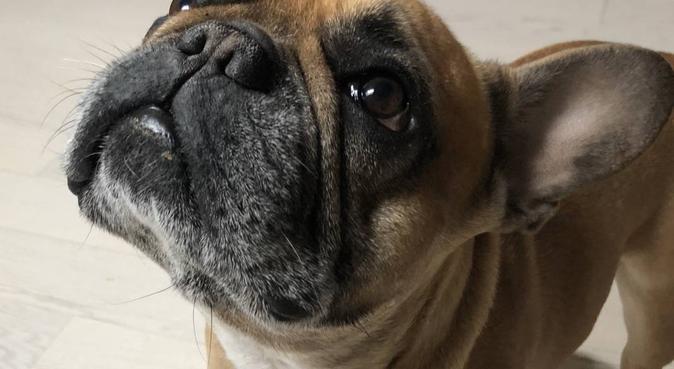 Giocare al parco con il mio bulldog francese, dog sitter a Milano, MI, Italia
