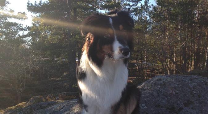Tält- o promenadkompis sökes – Lappkärrsberget, hundvakt nära STOCKHOLM