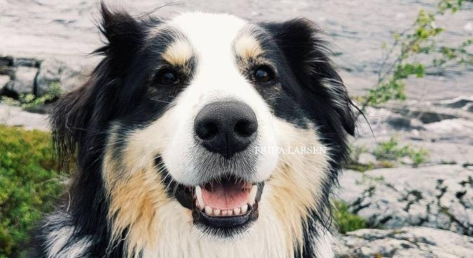 Turglad nordlending savner en hundevenn på Tiller!, hundepassere i Tiller