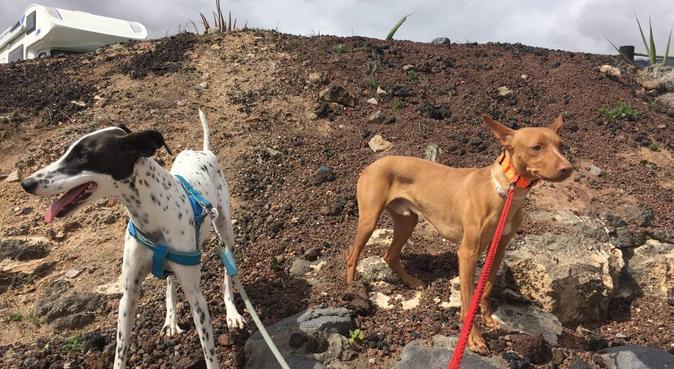El hogar y compañía que busca para su perro., canguro en Puerto del Rosario, España