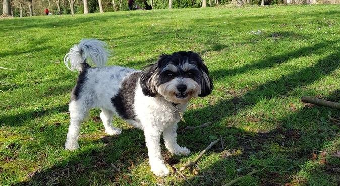 Small dog boarding slough, dog sitter in Slough
