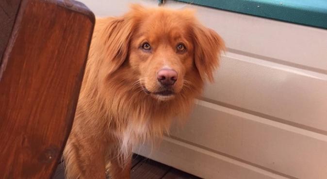 Hundeglad student som savner en firbent turkamerat, hundepassere i Trondheim