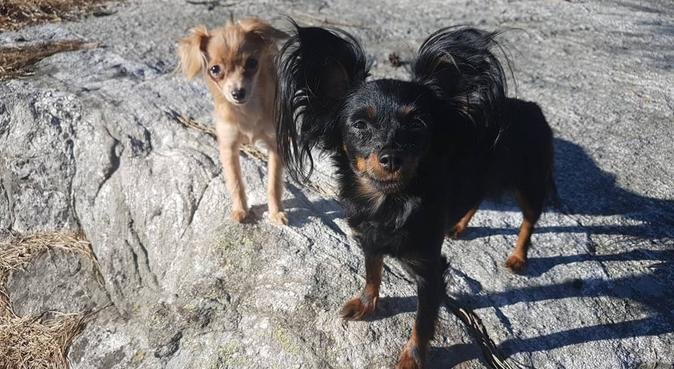 Sitter for small to medium dogs in Kungsladugård!, hundvakt nära Gothenburg, Sweden