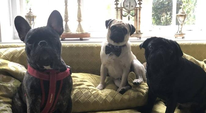 Precious Pug Palace for Pampered and loved pooches, dog sitter in London