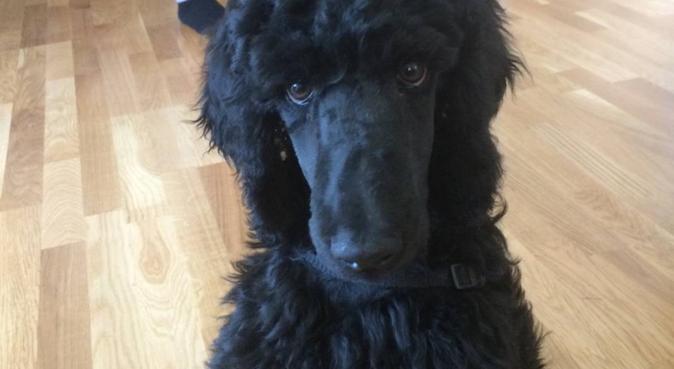 Hundelufter søker turpartner 😊🐶, hundepassere i Oslo