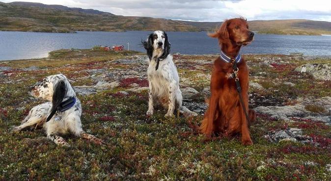 Elsker Setter:)), hundepassere i Skogn