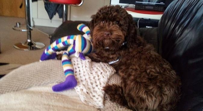 Katie's Cardiff dog sitting and walking service, dog sitter in Cardiff