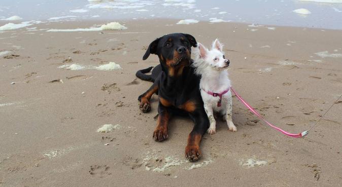Eerlijke, betrouwbare, en ervaren hondenoppas!, hondenoppas in Voorhout