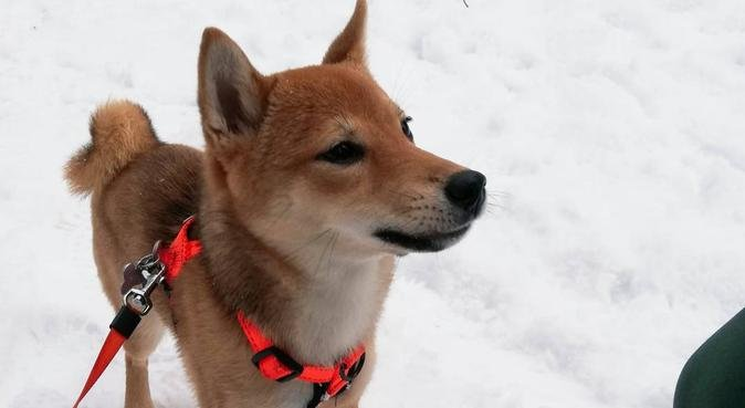 Studenter søker hund for tur og kos, hundepassere i Trondheim