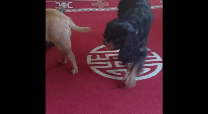 Dog Walker, dog sitter in Derby