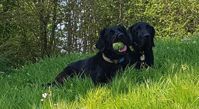 Buddies Dog Walking in East & South Belfast, dog sitter in Belfast