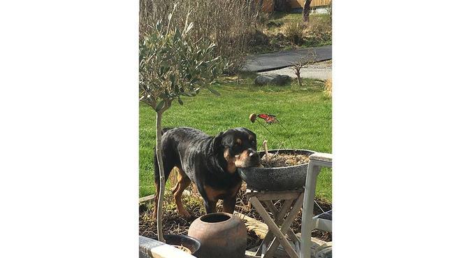 Hundpassning av hundälskande familj i stor villa, hundvakt nära Sollentuna