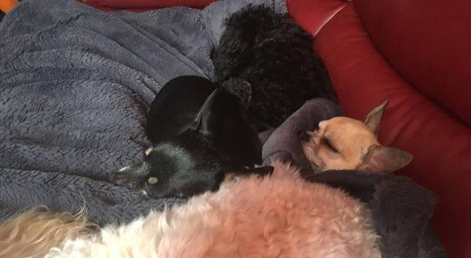 Chihuahua /maltese and tiny toys safe boarding, dog sitter in swanley