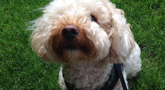 Don't stop retrievin, hold on to that feelin! ❤️🐩, dog sitter in Cambridge