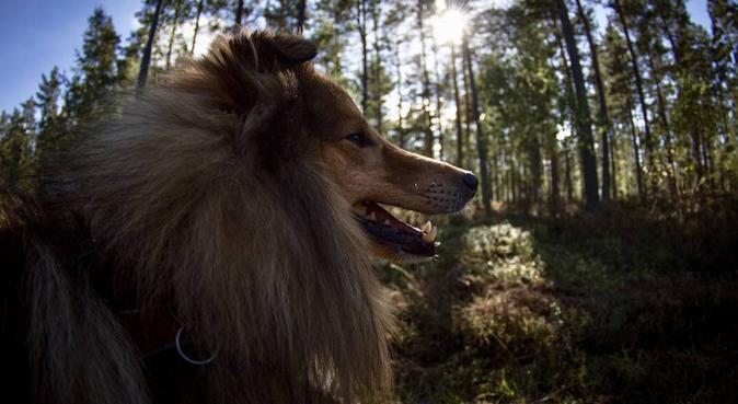 Ansvarsfull hundpassning/rastning i Västerort, hundvakt nära Stockholm