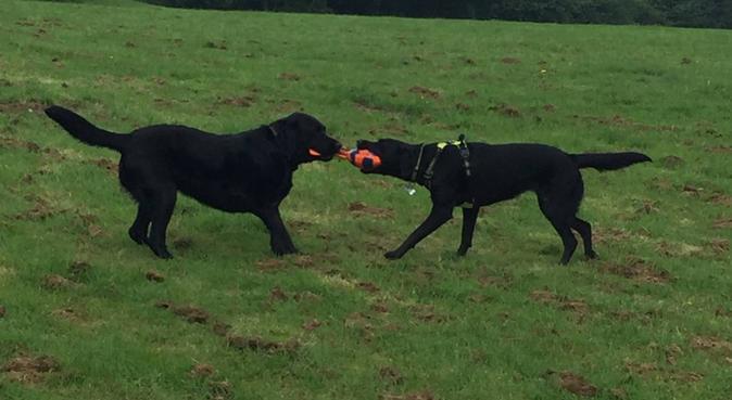 Boisterous lab enjoys playtime, dog sitter in Northwood