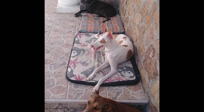 Agradables paseos caninos., canguro en Titulcia